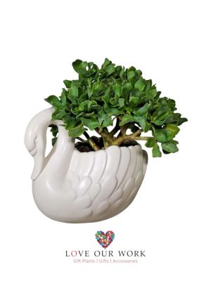 The Swan with Jade Plant Crassula Ovata