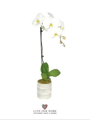 Single Spiked Phalaenopsis Orchid in modern pot