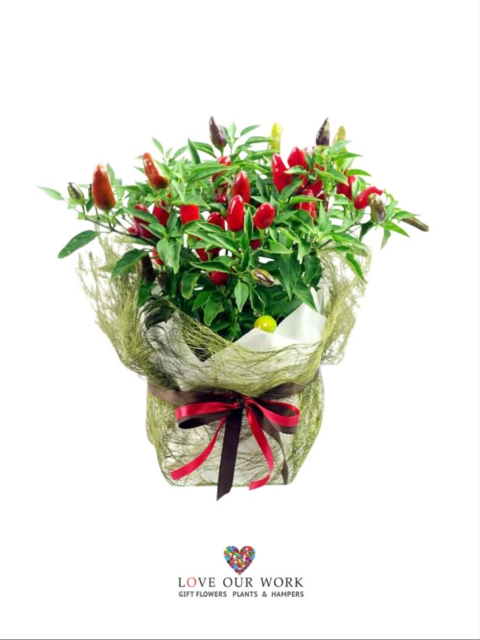 For those looking to gift something a bit different. Introducing Hot Taco Chili Lover's gift plant. For the Foodie Lover. FREE Delivery Chatswood