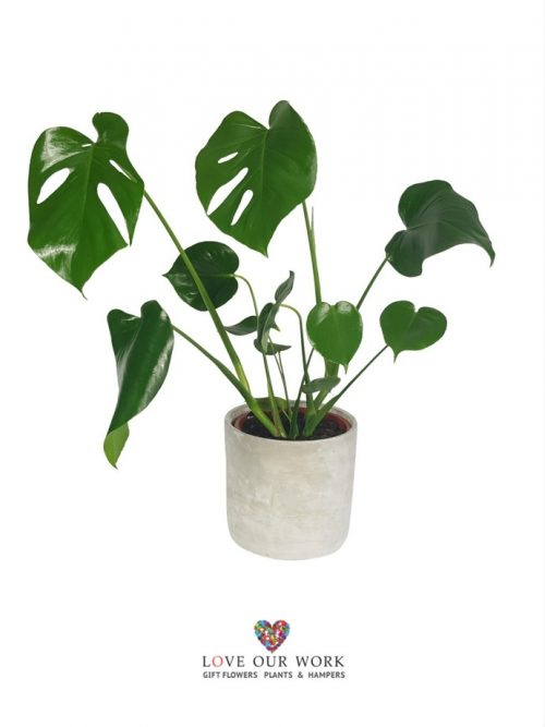 can be referred to as the Swiss cheese plant, Mexican breadfruit, or hurricane plant, Monstera Deliciosa