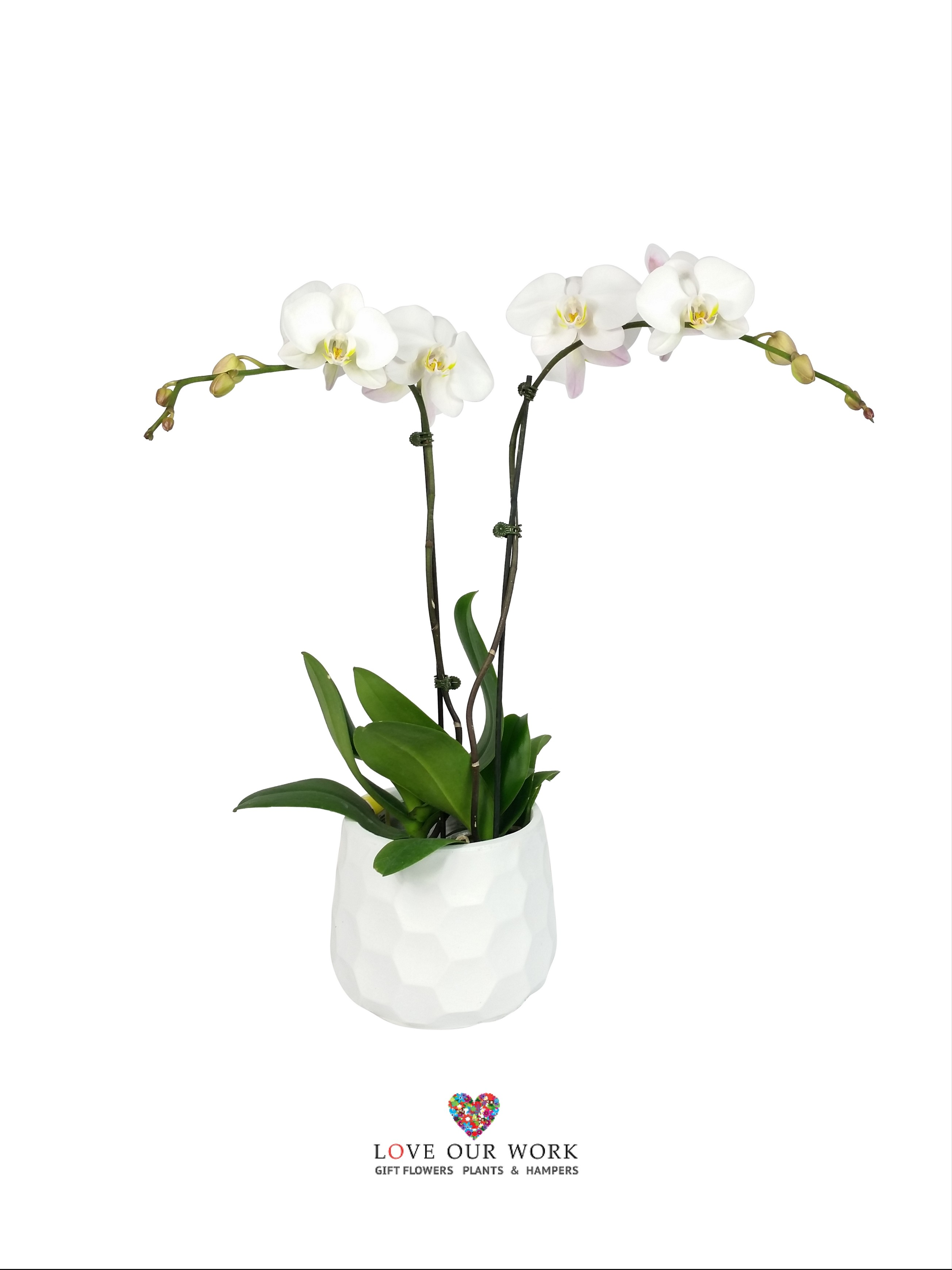 Pure. White. Bliss. Double spiked Phalaenopsis orchids in a modern white honeycomb pot