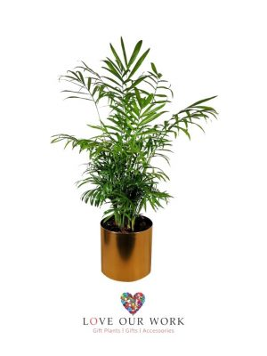 Parlour Palm in Brass Pot
