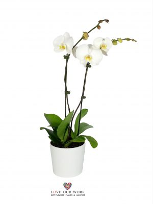 Double Spiked Phalaenopsis Orchid Plant