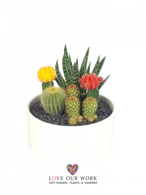 Cacti Garden Large In White Pot 19cm H X 20cm W