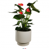 This bright red Anthurium plant, blooming with exotic colour & grace