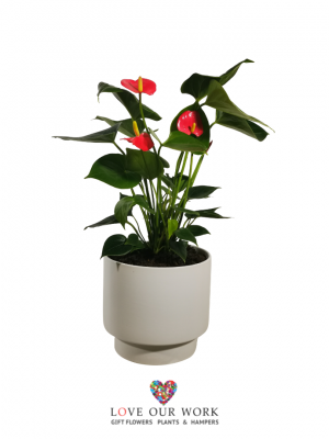 Flamingo Lily (Anthurium) Plant