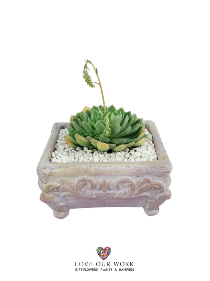 Deliver unique succulant gift plants in ornate planter.