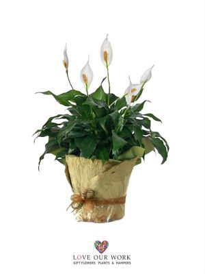 Same Day Gift Plants Delivered Pure Peace Lily
