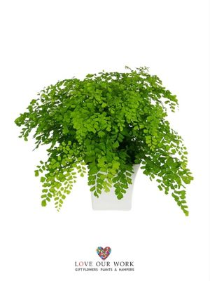 Classically Ornamental Maidenhair Fern