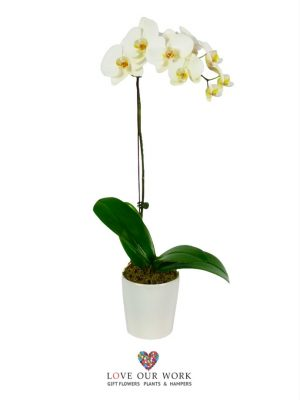 Single Spiked Phalaenopsis Orchid Plant