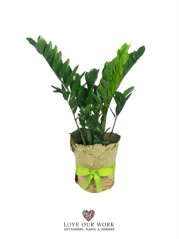 exotic ornamental accent plant, and revered for their attractive glossy